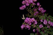 Hawk Moth Is Feeding On Nectar...