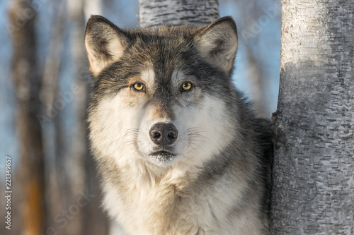 Grey Wolf (Canis lupus) Stares Out