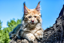 Maine Coon Kitten Sitting On Tree In Forest, Park On Summer Sunny Day.