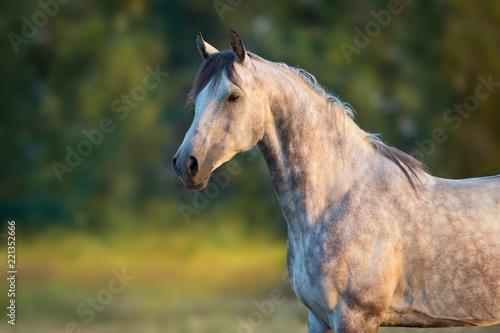 Photo  White arabian horse portrait at sunrise light