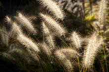Dramatic Back-lit Fountain Grass In The Autumn Light For A Painterly Effect.