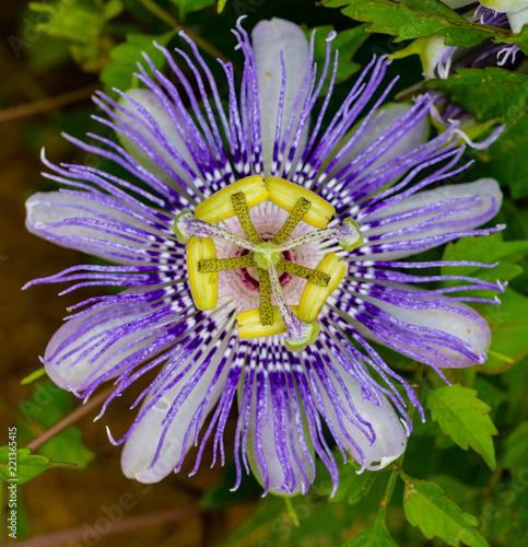Fotografie, Obraz  Passion Flower