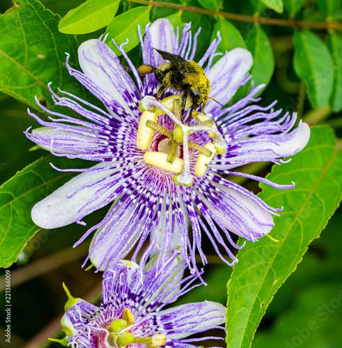 Fotografie, Obraz  Bee on purple passion flower