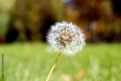Anthodium of a dandelion.
