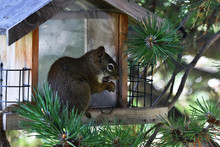 Cute Brown Squirrel Close Up