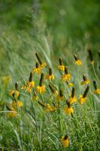 Ratibida Columnifera Yellow: Y...