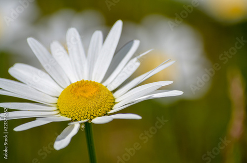 Foto op Canvas Madeliefjes Wild Daisy in bloom in Minnesota