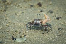 Fiddle Crab Waving