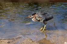 A Green Heron Shakes It's Fe.