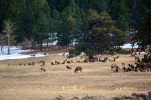 Herd Of Elk Grazing And Resting In A Field With Trees And Snow