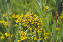 The Little Yellow Flowers In The Grassland Area Of The Wetlands Under The Summer Sun.