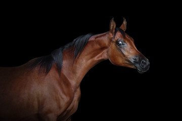 Portrait of a beautiful bay arabian horse isolated on black background