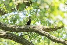 The Male Common Blackbird Sits On An Oak Branch