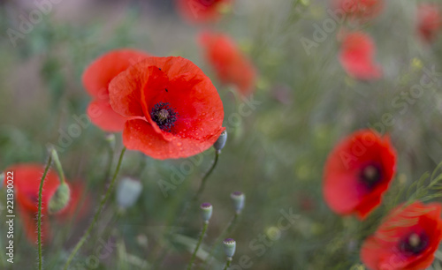 Foto op Canvas Poppy Closeup of red poppies (Papaver rhoeas). red poppy flowers - Papaveraceae Papaver rhoeas