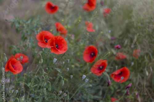 Closeup of red poppies (Papaver rhoeas). red poppy flowers - Papaveraceae Papaver rhoeas