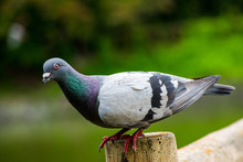 Stock Dove On A Log Looking To...