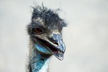 Very Charming Ostrich Portrait