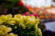 Yellow Leaf Begonia On A Blurred Background