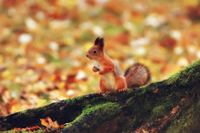 Squirrel In Autumn / Autumn Po...