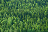 Fototapeta Na ścianę - texture coniferous forest top view / landscape green forest, taiga peaks of fir trees