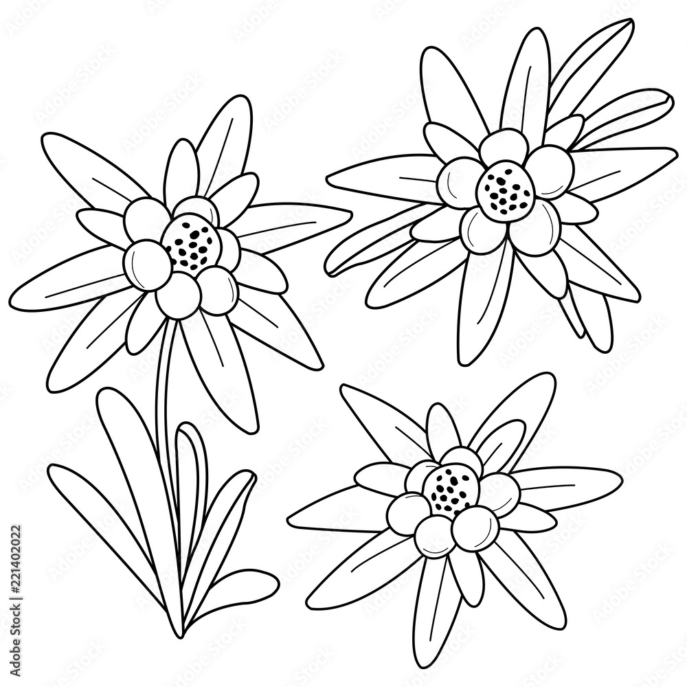 Edelweiss flowers. Black and white coloring book page Foto ...