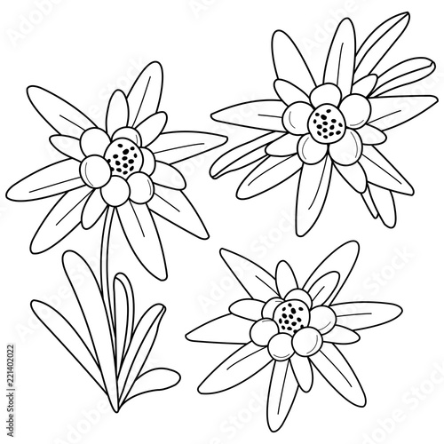Edelweiss flowers. Black and white coloring book page – kaufen Sie ...