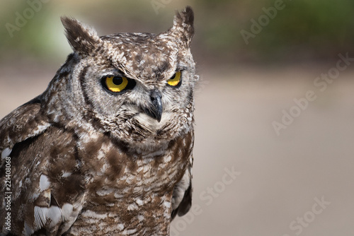 Great eagle owl (great horned owl). Bubo bubo. Strigidae family.