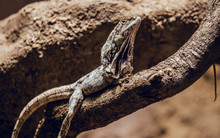 Beautiful Lizard Lying On Tree