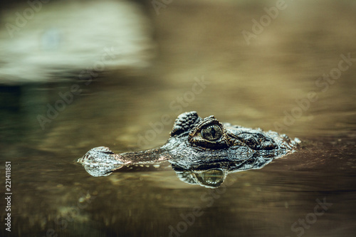 Crocodile hiding under water