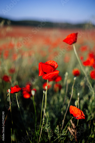 Red poppy in the field.