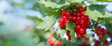 Red Currants In The Summer Gar...