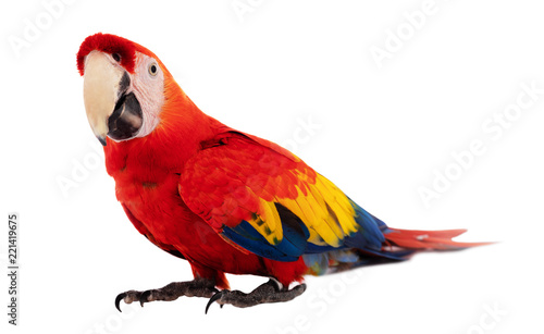 Red Macaw Parrot isolated on white