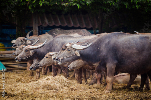 Tuinposter Buffel buffalo thai in farm