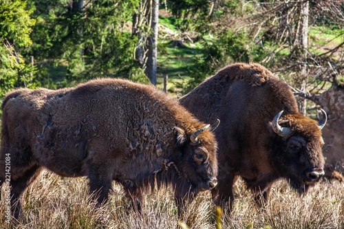 In de dag Bison Wisent am Rothaarsteig