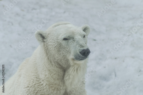 Polar bear face portrait (Ursus maritimus)