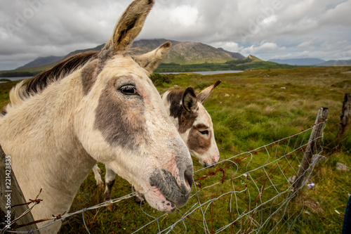 Cute donkeys in Lough Inagh Valley, Connemara