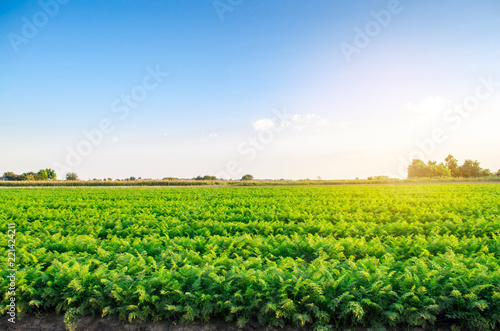 Fotomural plantations of carrots grow in the field