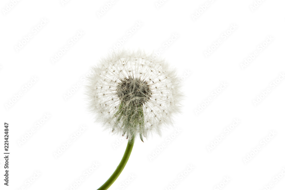 Fototapety, obrazy: Dandelion close-up. Air beautiful Bud on a light background.