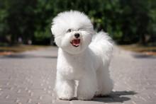 Bichon Frise Puppy Cute Portrait Walk