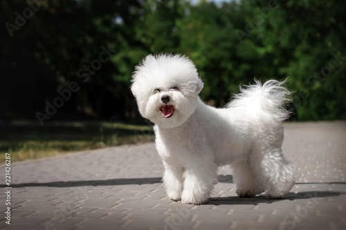bichon frise puppy cute portrait in park Canvas Print