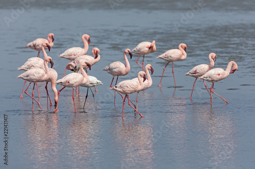 Namibia, Walvis Bay, flock of American flamingos and one Lesser flamingo