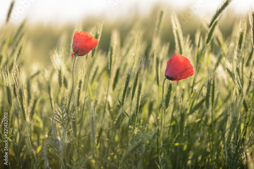 couple of poppies on a wheat field against blurry background.