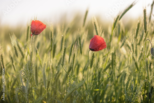 Foto op Plexiglas Klaprozen couple of poppies on a wheat field against blurry background.