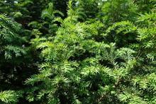 Bush Of Yew With Fresh Spring Foliage