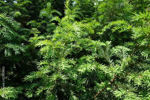 Fotografie, Obraz Bush of yew with fresh spring foliage