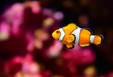 Clown Fish Or Anemone Fish At ...
