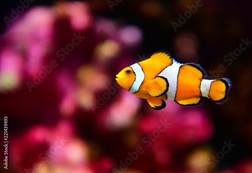 Fotografie, Tablou  Clown fish or anemone fish at underwater