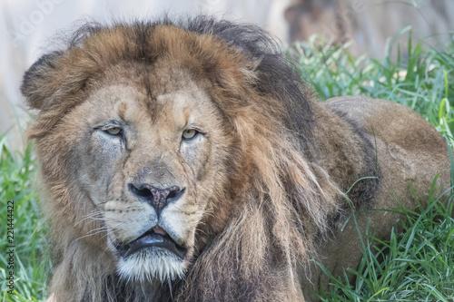 Fotobehang Leeuw lion head color