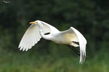 Great Egret (Ardea Alba), Real Wildlife - No ZOO