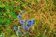 The Prickly Plant Is The Bluehead Eryngium Planum.
